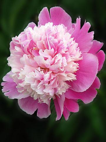 Pink Peony Aromatherapy Fragrances