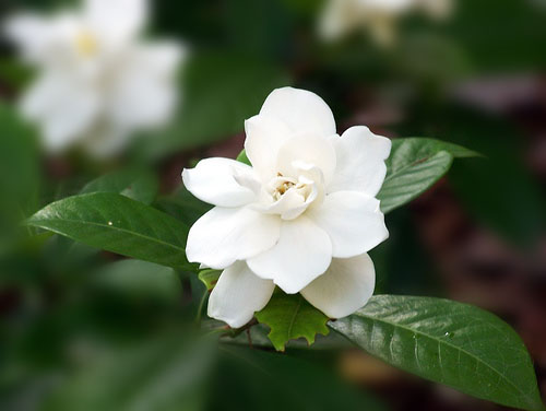 gardenia1 Aromatherapy Fragrances